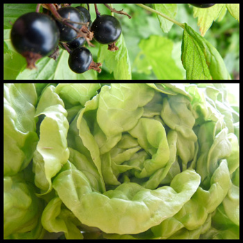Blackcurrant-lettuce